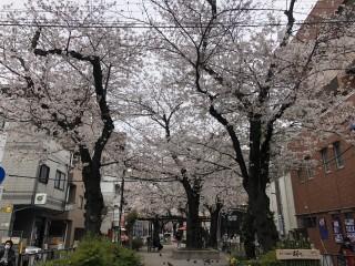 都立大学駅前で平成最後のお花見